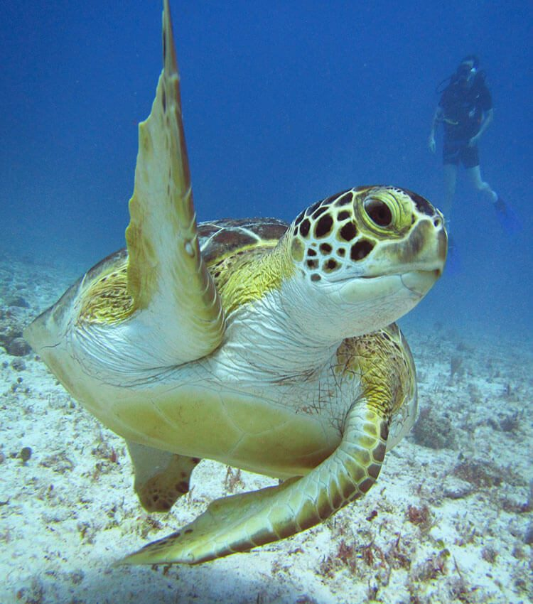 Turtle close up, waving a fin in the air, swimming above the ocean floor with a diver in the distant background.
