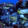 School of silver and yellow fish swimming on and around colorful coral reef with blue ocean background.