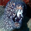 Spotted Moray Eel in front of red coral with mouth open showing top teeth.