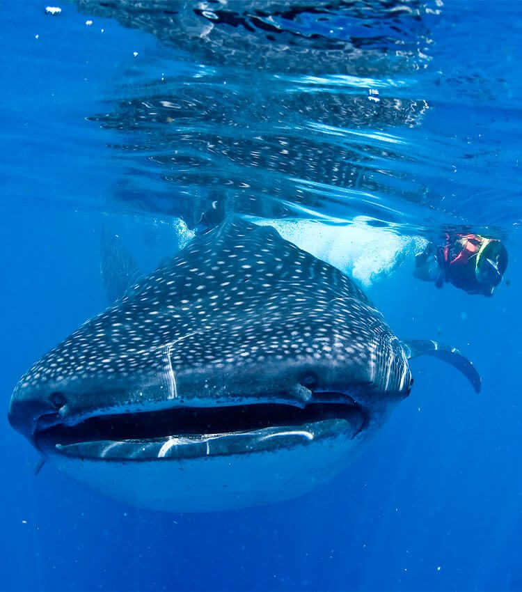 Whale Shark head on, close to the surface, with a snorkeler swimming beside it.